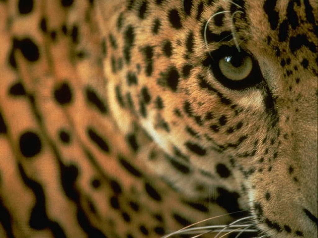 leopard eye close up - photo #11